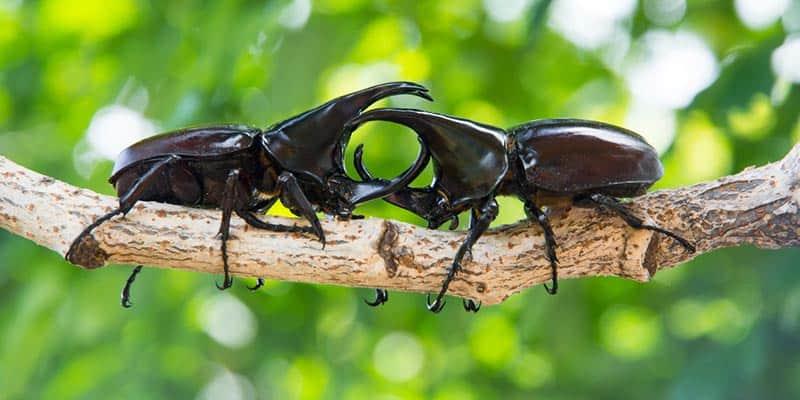 escarabajo rinoceronte - caracteristicas