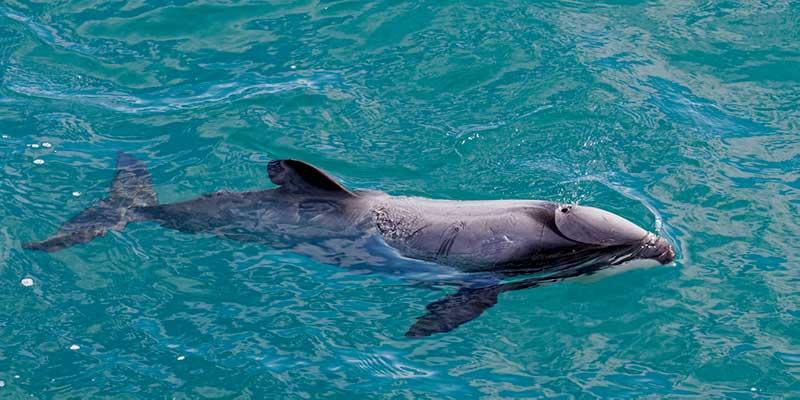 delfin de maui