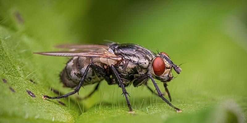 cuanto vive una mosca