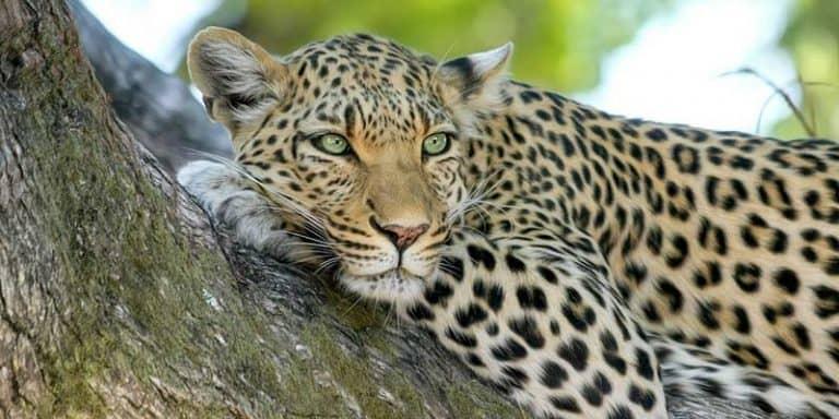 leopardo y guepardo - diferencias