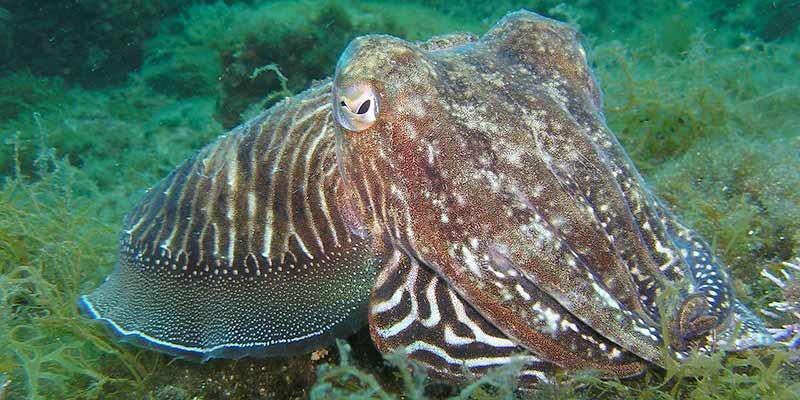 pulpo y calamar - diferencias