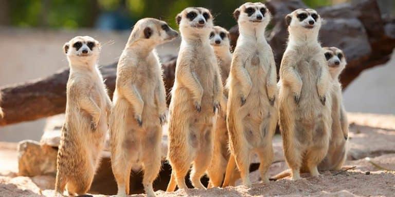 suricato - caracteristicas